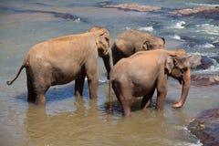 elefanttrio royaltyfri bild