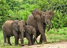 Elefanttrio som går till kusterna av den Chobe floden Royaltyfria Bilder