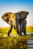 Elefantuppladdning Arkivfoto
