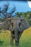 Elefantvarning: Universitetslärare` t får för nära Royaltyfria Foton
