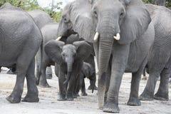 Elefantvoranbringen Stockbild