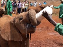 Elefantwaise Stockfotografie