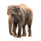 Elefantwhitebakgrund arkivbild