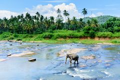 Elefphant在河,斯里兰卡,康提 免版税图库摄影