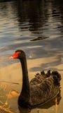 A elegância da cisne preta Fotografia de Stock