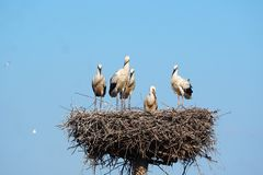 A elegância das cegonhas na parte superior de seu ninho, ivars, lerida imagens de stock