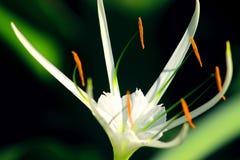 Eleganccy piękni biali kwiaty Fotografia Royalty Free