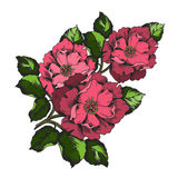 Elegance colorful illustration with branch flower peony isolated on white background. Royalty Free Stock Photos