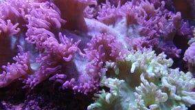 Elegance coral in aquarium stock video footage