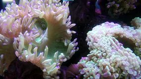 Elegance coral in aquarium stock video