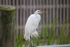 The elegance of the Great White Egret stock photos