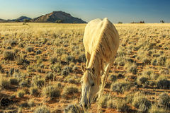 The elegance of a horse while eating the grass of the savannah during the dry season Stock Photos