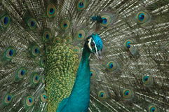 Elegance of peacock Stock Photography