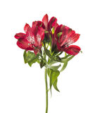 Elegance red freesia, isolated on wwhite Stock Photos