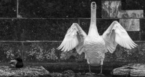The elegance of a swan in front of a drab wall. In black and white royalty free stock image