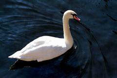 Elegance swan in the lake Royalty Free Stock Photos
