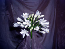 Elegancia blanca del Agapanthus Imágenes de archivo libres de regalías