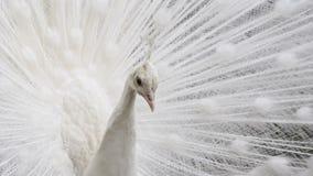 Elegancja portret, piękny biały paw z otwartym piórkowym spojrzeniem kamera zdjęcie wideo