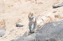 Elegancka wiewiórka Je arachid W Costa Calma Australijski początek Lipiec 3, 2013 Costa Calma, Fuerteventura, wyspy kanaryjskie, zdjęcie royalty free