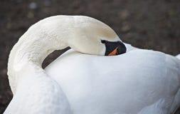elegancki łabędzi white obrazy royalty free