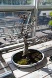 Elegancki śmiały bonsai drzewo w małym garnka zbliżeniu, nasłonecznionym Japońska tradycyjna forma sztuki Obraz Stock