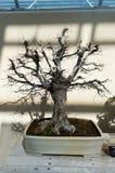 Elegancki śmiały bonsai drzewo w małym garnka zbliżeniu, nasłonecznionym Japońska tradycyjna forma sztuki Obrazy Stock