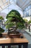 Elegancki bonsai drzewo w drewnianego pudełka zbliżeniu Japońska tradycyjna forma sztuki Obraz Royalty Free