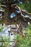 Elegancki bonsai drzewo w garnka zbliżeniu Japońska tradycyjna forma sztuki Obraz Stock