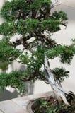 Elegancki bonsai drzewo w małym garnka zbliżeniu Japońska tradycyjna forma sztuki Fotografia Stock