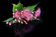 Elegancki bukiet różowy eukaliptus kwitnie i pączkuje Zdjęcie Royalty Free