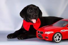 Elegancki czarny labradora szczeniak na błękitnym tle z zabawkarskim samochodem Obrazy Stock