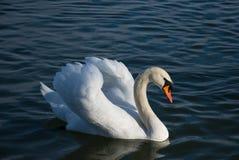Elegancki i piękny biały łabędź z nastroszonymi skrzydłami w błękitne wody jezioro fotografia stock