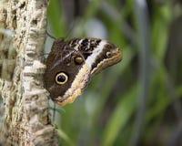 Elegancki królowej sowy motyl Fotografia Royalty Free