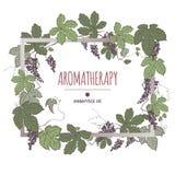 Elegancki ramowy szablon z kolorów winogronami owoc i liście kreśli Obrazy Royalty Free