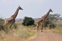 Eleganckie żyrafy zdjęcie royalty free