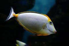 elegans热带鱼的naso 免版税库存照片