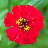 elegans红色充满活力的百日菊属 库存图片