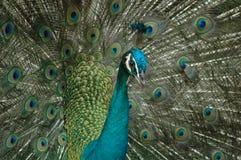 Elegans av påfågeln Arkivbild