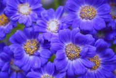 Elegans bleus de senecio Images stock