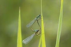 elegans Blu-muniti di Ischnura del damselfly che accoppiano ruota Immagine Stock Libera da Diritti