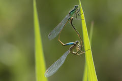 elegans Blu-muniti di Ischnura del damselfly che accoppiano ruota Immagini Stock Libere da Diritti
