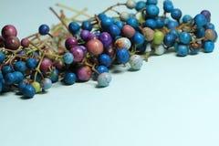 Elegans coloridos del glandulosa del ampelopsis en fondo azul Imágenes de archivo libres de regalías