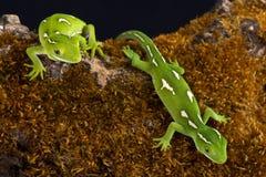 Elegans de Naultinus de gecko de vert d'Auckland photos libres de droits
