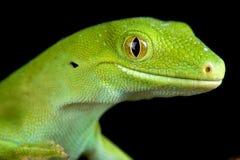 Elegans de Naultinus de gecko de vert d'Auckland image stock