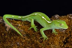 Elegans de Naultinus de gecko de vert d'Auckland photos stock