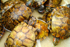 Elegans de scripta de Trachemys Photo stock