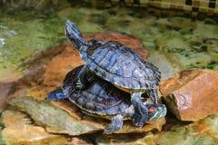 Elegans de scripta de Trachemys Les tortues rouge-? oreilles d?coratives se reposent sur les roches dans un r?servoir artificiel  photos libres de droits