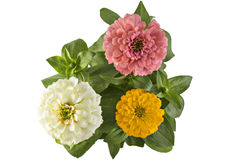 Elegans de Zinnia Photos stock