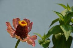 Elegans decorativos macros del zinnia de las flores foto de archivo