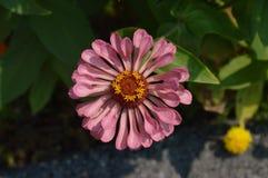 Elegans decorativos macros del zinnia de las flores Imagen de archivo